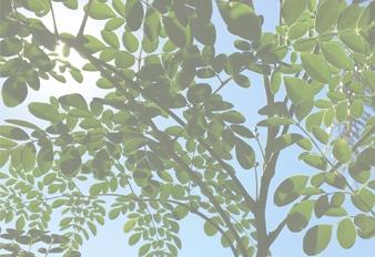 Moringa, la Planta de la Eterna Juventud