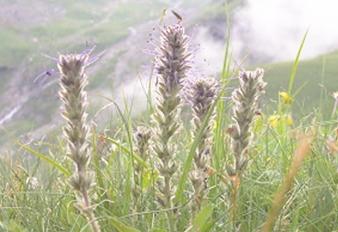 Katuki: la hierba especial de los Himalayas